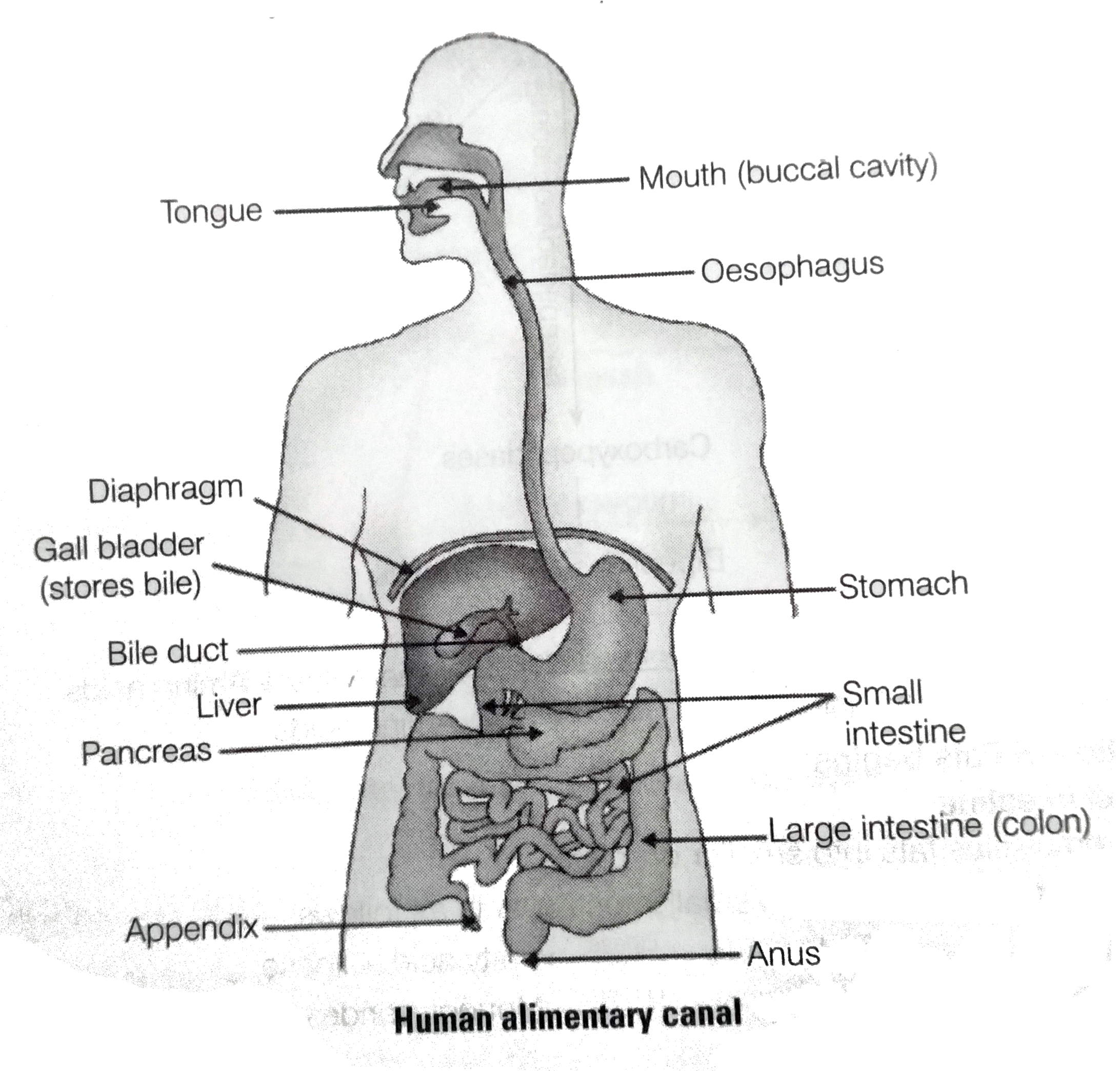 Draw The Diagram Of Alimentary Canal Of Man And Label The