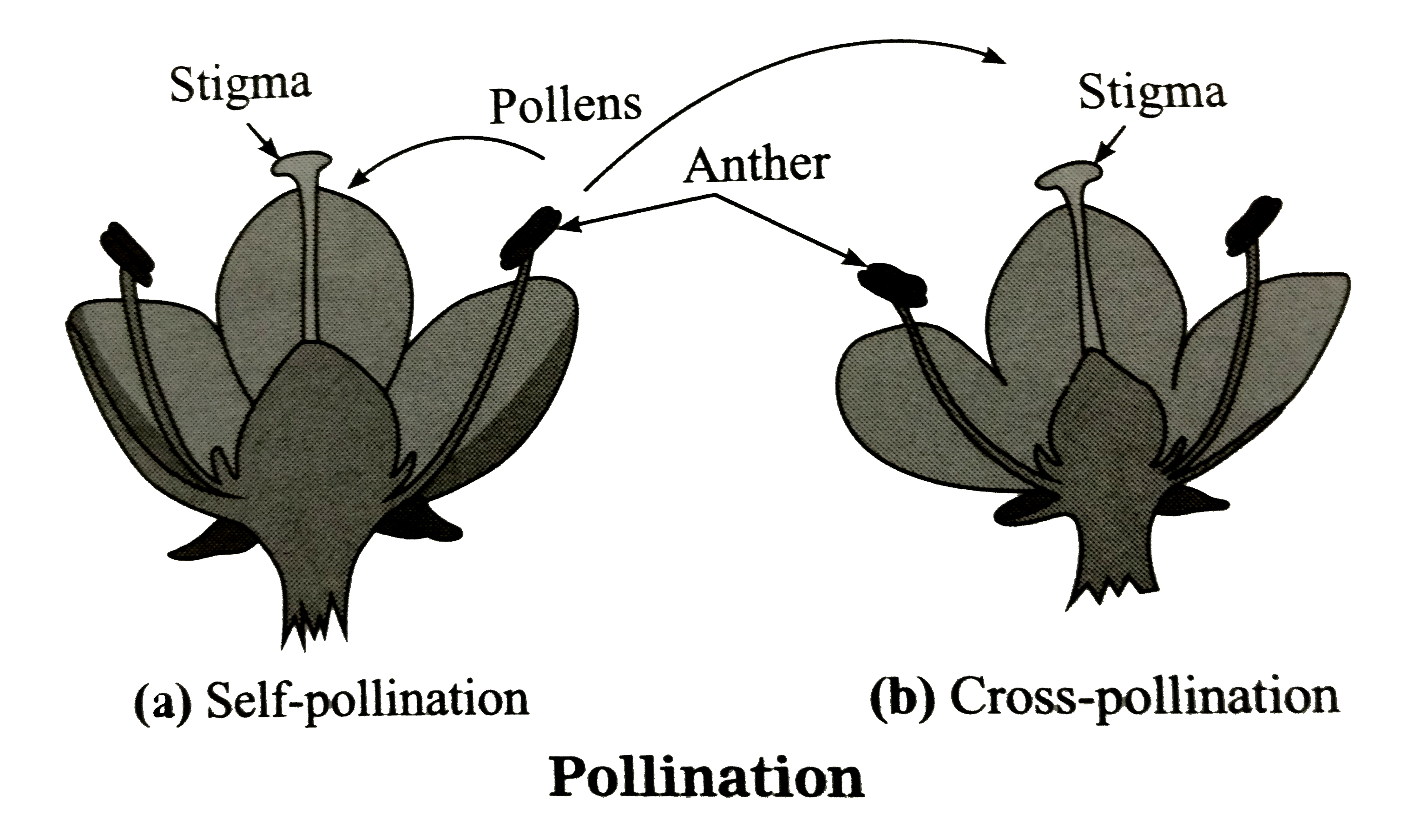 Sketch And Label The Diagram Showing Self And Cross Pollination
