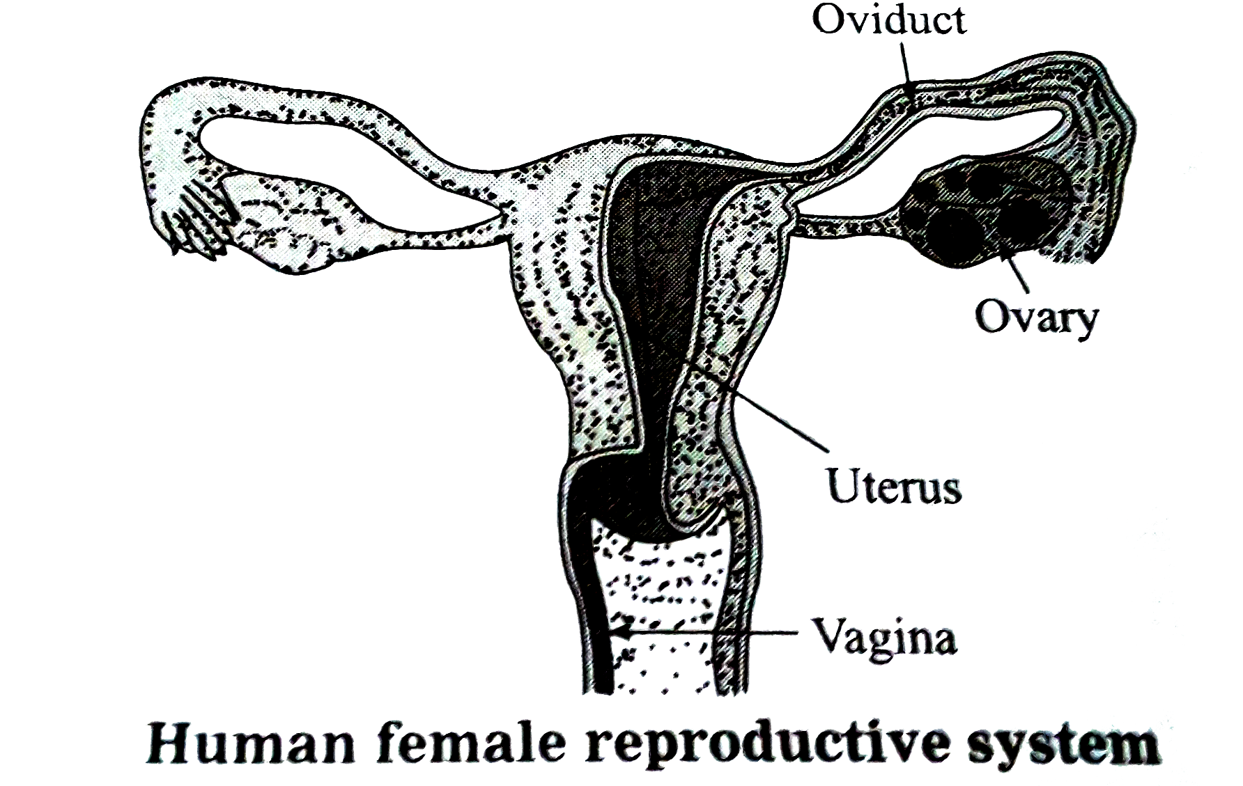 Sketch And Label Human Female Reproductive System Is The Woman Re